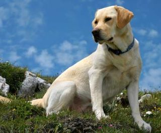 Labrador-retriever
