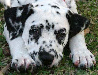 Phoebe_dalmatian12