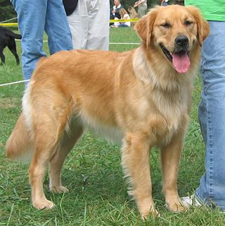 Golden_retriever_4